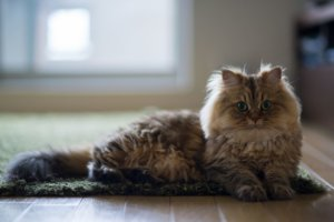 10 Cat Breeds With Long Hair