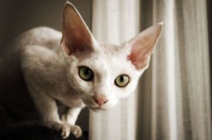 13 Cat Breeds With Big Eyes