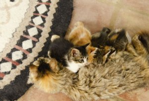How Soon Can a Cat Go Into Heat After Giving Birth?