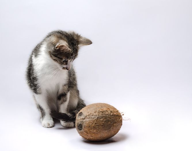 Tabby & White Kitten with a Coconut