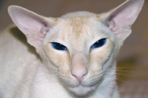 Colorpoint Shorthair: Cat Breed Profile