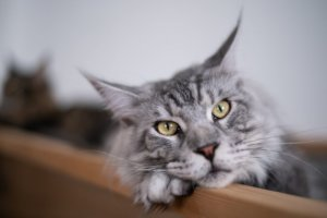 10 Cat Breeds That Are the Most Affectionate