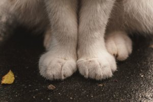 Swollen Paws in Cats