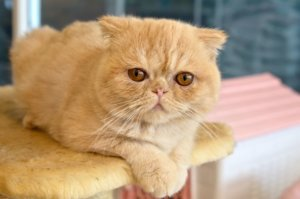 Exotic Shorthair: Cat Breed Profile