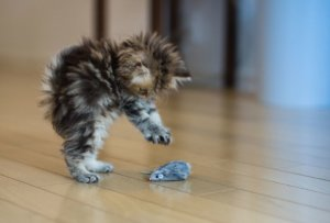 How to Stop Aggression in Kittens