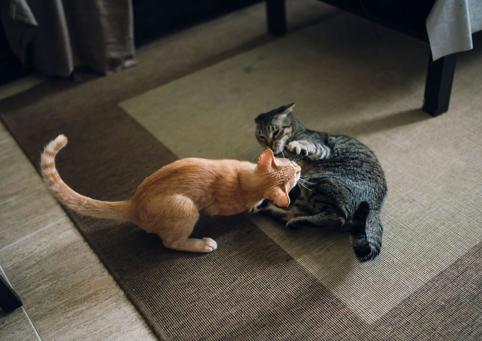 Photo of Two Tabby Cats Fighting