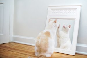 How to Train Your Cat to Accept Mirror Reflections