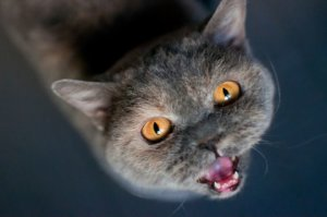 How to Stop Loud Meowing in Cats