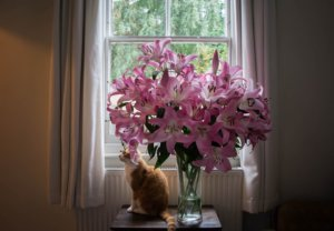 Lily Toxicity in Cats