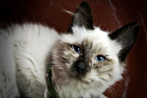 How to Identify and Treat Upper Respiratory Infections in Cats