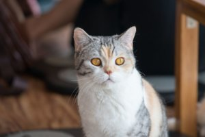 American Wirehair: Cat Breed Profile