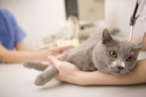 Should You Spay a Cat In Heat?