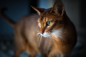 Renal Amyloidosis in Cats