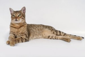 What Is a Cat Spay?