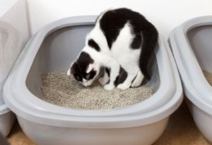 Why Is My Cat Eating Litter?