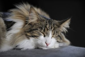 8 Cute Pictures of Norwegian Forest Cats