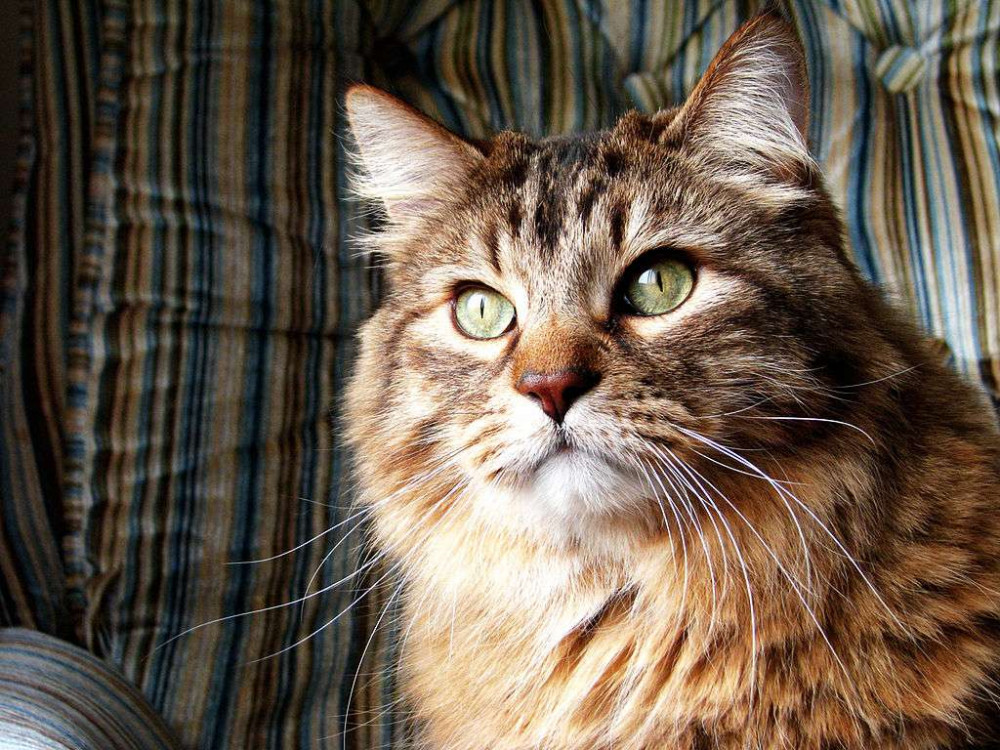 An orange Norwegian Forest cat looking out a window,