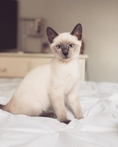 7 Mysteriously Beautiful Siamese Cats and Kittens