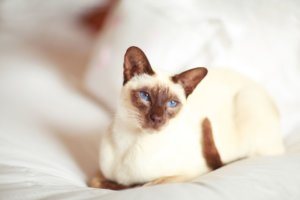 10 Best Cats With Big Ears