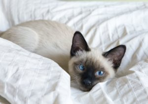 8 Cute Pictures of Siamese Cats