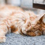 Skin Cancer in Cats