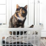 10 Best Cat Breeds for Apartment Living