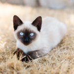 10 Cat Breeds With the Longest Lifespans