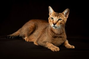 Chausie: Cat Breed Profile